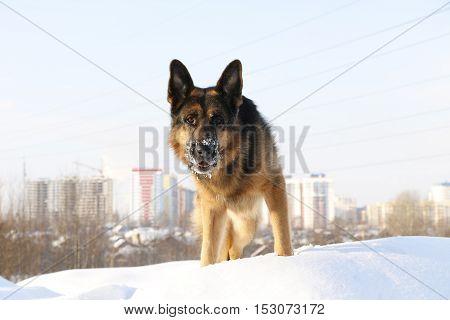 Dog German Shepherd In A Winter Day
