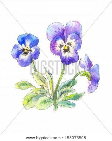pansies blue boucket. purple wild flowers in watercolor
