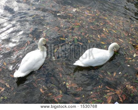 Pair of swans photgraphed at Loch