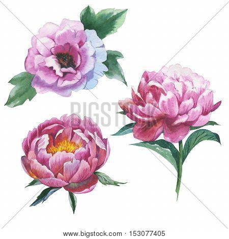 Wildflower peony flower in a watercolor style isolated. Aquarelle wild flower for background, texture, wrapper pattern, frame or border.