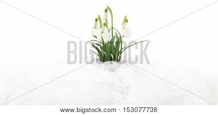 Snowdrop flowers coming out from real snow.