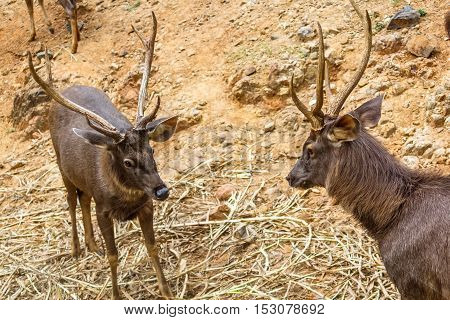 Starring deer with a fighting look at each  other