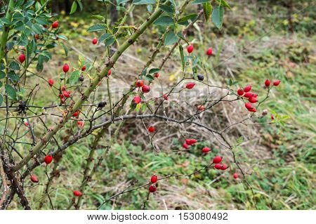 Rosehip Branches with Lots of Rred Fruits. Thorns on the branches of Rosehip.