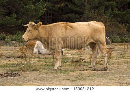 Herd of cows Tejera Negra natural park. Guadalajara. spain