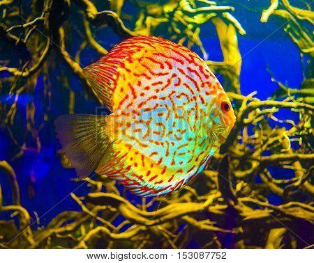 Discus images stock photos illustrations bigstock for Salzwasser aquarium fische