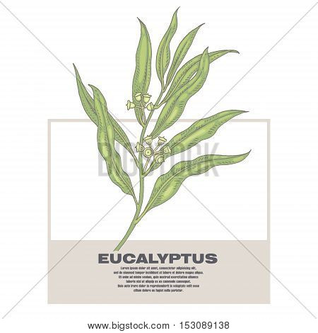 Eucalyptus. Illustration of medical herbs. Isolated image on white background. Vector.