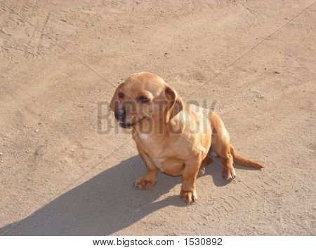 Small Teckel Dog