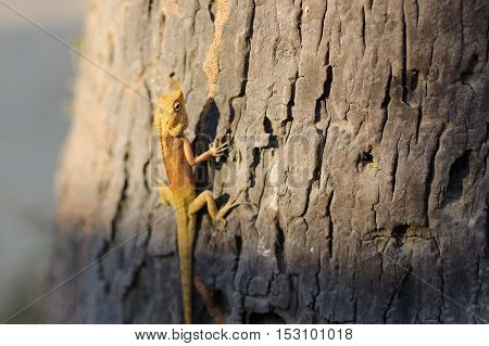 a bight yellow asia garden lizard Calotes versicolour Crested Tree Lizard with blue background on a tree in with plam leave close-up shooting n Thailand
