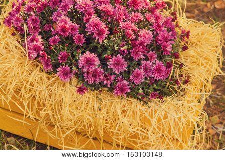 Purple Chrysanthemums In Yellow Wooden Box In The Garden
