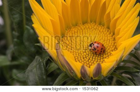 A Ladybug In A Yellow Daisy