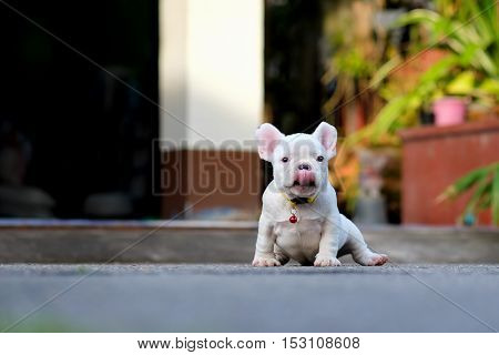 Young french bulldogs tongue sit on the cement floor.