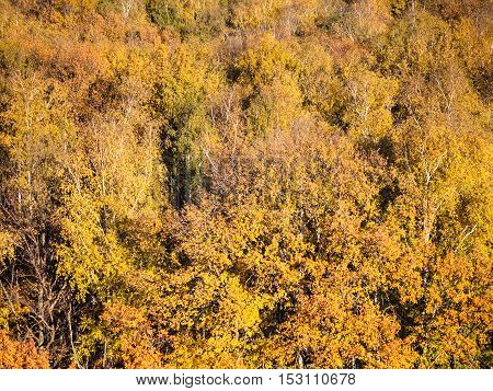 Yellow Foliage Of Forest In Sunny Autumn Day