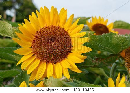 Closeup of big sunflower in the field