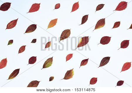 Autumn composition with bright red leaves placed diagonally. Top view flat lay on a white background. Top view flat lay on a white background.