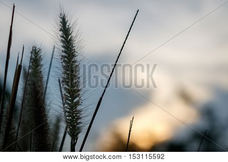 Soft focus of feather Pennisetum or mission grass flower silhouette with evening sky