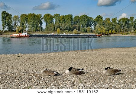 resting Canada Geese at Rhine River with low Water,Rhineland,Germany
