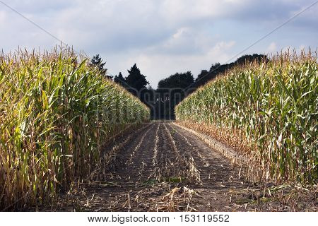 Path in a corn field created by harvesting in the Netherlands