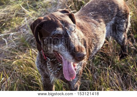 Close-up German Shorthaired Pointer Dog Outside on the meadow