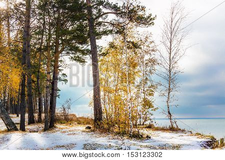 Autumn Landscape With Yellow Birches And Snow. Siberia, The Coast Of The Ob River