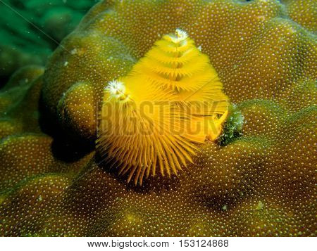 Yellow Christmas tree worm from Gulf of Thailand