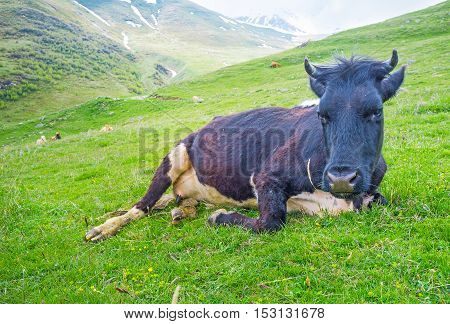 The black cow rests after the grazing on the mountain at the foot of Kazbek Mount Kazbegi National Park Georgia.