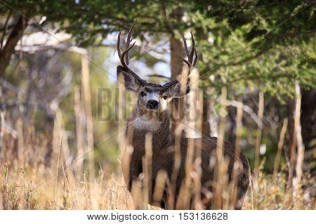 Mule deer buck looking at camera in Montana.