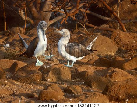 Pair of blue-footed booby guarding their egg in Galapagos