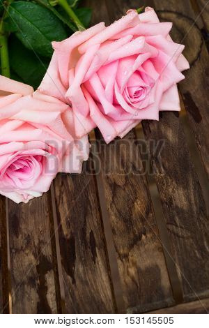 Two pink fresh blooming roses on wooden table with copy space