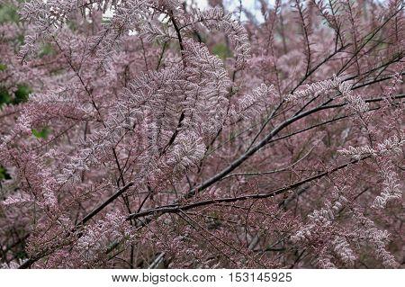 the blooming pink tamarisk bush close up