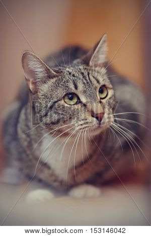 The domestic striped cat with white paws and with green eyes