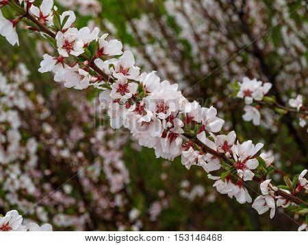 Abundant flowering cherry felt creates a mood and decorate the spring garden