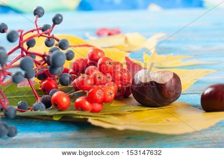 Autumn still life with forest berries yellow maple leaves and chestnuts on a wooden background.