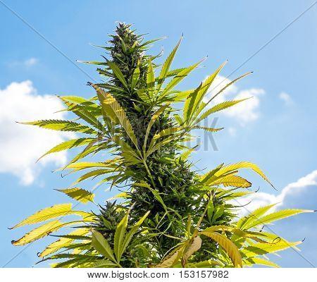 Marijuana (cannabis) plants before harvest time