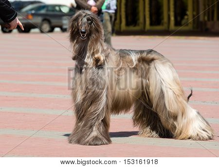 Afghan Hound under command.  The Afghan Hound is in the park.