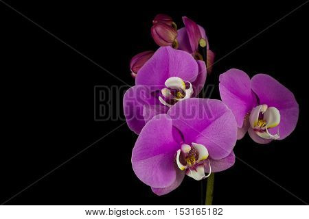 Close-up of pink orchid flower. Macro photography of nature.