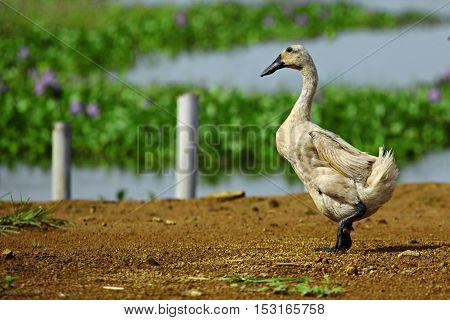 Javanese Brown Duck from Pekalongan Regency, Indonesia.