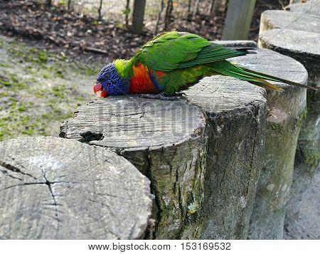 Rainbow lorikeet kneeling down on logs in petting zoo outdoors