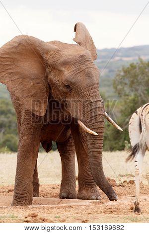 Elephant Chasing The Zebra Away