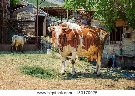 Cow In A Mountain Village