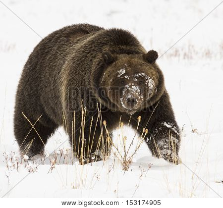 Grizzly bear in deep snow with paw up