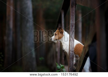a dog standing on the bridge and looks forward. Jack Russell Terrier dog