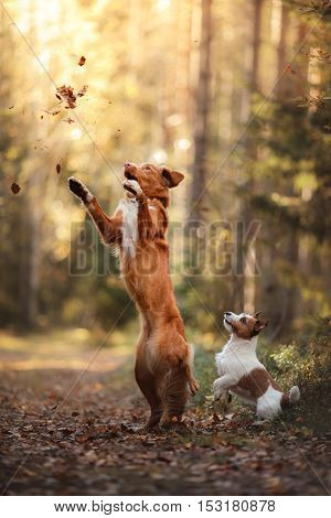 Dog Jack Russell Terrier And Dog Nova Scotia Duck Tolling Retriever Jump Over The Leaves