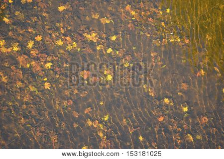The sun shines on the yellow leaves that have fallen into the water.