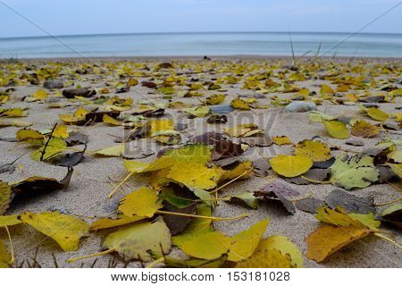 Yellow aspen leaves fallen on the seashore. Autumn day.