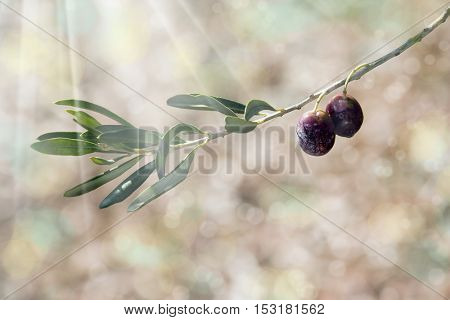 an image of an olive branch