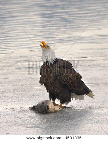 Bald Eagle sitting on ice eating fish