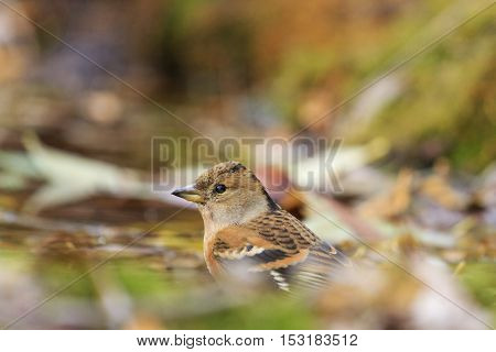 Brambling on the fallen leaves, birds drink water puddle autumn, fallen leaves, colorful leaves, bird migration