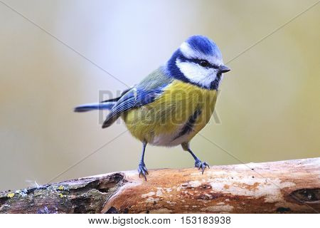 Eurasian blue tit on branch, birds drink water puddle autumn, fallen leaves, colorful leaves, bird migration