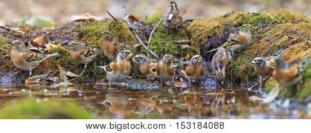flock of bramblings on watering, birds drink water puddle autumn, fallen leaves, colorful leaves, bird migration
