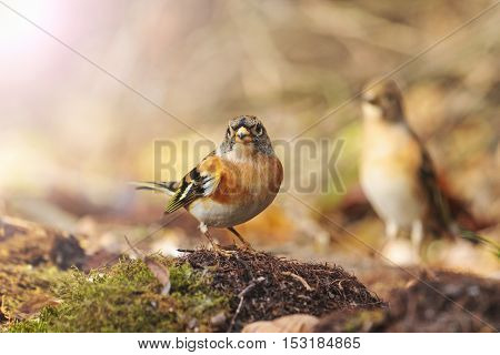 bramblings and and silhouette, birds drink water puddle autumn, fallen leaves, colorful leaves, bird migration